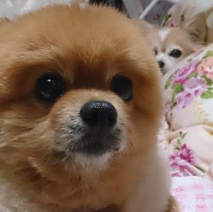 顔アップ,もも,ももちゃん,ポメラニアン,ポメ,犬,わんこ,可愛い,柴犬カット,テディベアカット,柴犬,テディベア,シバラニアン,天使,momo,dog,dogs,pomeranian