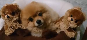 ぬいぐる,みもも,ももちゃん,ポメラニアン,ポメ,犬,わんこ,可愛い,柴犬カット,テディベアカット,柴犬,テディベア,シバラニアン,天使,momo,dog,dogs,pomeranian