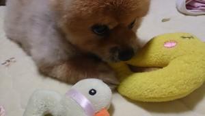 ひよこ,もも,ももちゃん,ポメラニアン,ポメ,犬,わんこ,可愛い,柴犬カット,テディベアカット,柴犬,テディベア,シバラニアン,天使,momo,dog,dogs,pomeranian