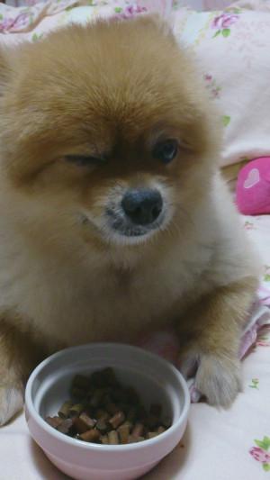 ウィンク,もも,ももちゃん,ポメラニアン,ポメ,犬,わんこ,可愛い,柴犬カット,テディベアカット,柴犬,テディベア,シバラニアン,天使,momo,dog,dogs,pomeranian