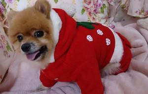 クリスマス,コスプレ,もも,ももちゃん,ポメラニアン,ポメ,犬,わんこ,可愛い,柴犬カット,テディベアカット,柴犬,テディベア,momo,dog,dogs,pomeranian,天使,シバラニアン