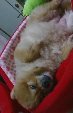 白目,もも,ももちゃん,ポメラニアン,ポメ,犬,わんこ,可愛い,柴犬カット,テディベアカット,柴犬,テディベア,シバラニアン,天使,momo,dog,dogs,pomeranian