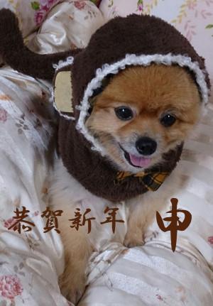 猿,申年,コスプレ,年賀状,もも,ももちゃん,ポメラニアン,ポメ,犬,わんこ,可愛い,柴犬,柴犬カット,テディベアカット,テディベア,momo,dog,dogs,pomeranian