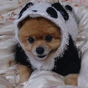 パンダ,コスプレ,もも,ももちゃん,ポメラニアン,シバラニアン,天使,ポメ,犬,わんこ,可愛い,柴犬,柴犬カット,テディベア,テディベアカット,momo,dog,dogs,pomeranian