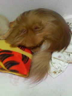 momo,dog,dogs,pomeranian,もも,ももちゃん,犬,わんこ,ポメラニアン,ポメ,可愛い,天使