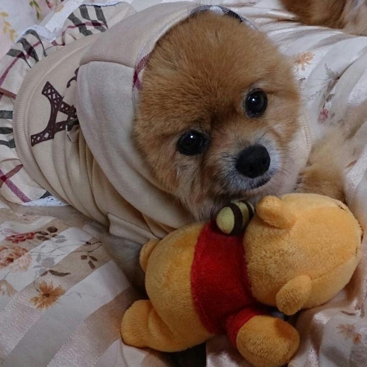 くまのプーさん,もも,ももちゃん,ポメラニアン,ポメ,犬,わんこ,可愛い,柴犬,柴犬カット,テディベア,テディベアカット,momo,dog,dogs,pomeranian,シバラニアン,天使