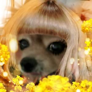 お化粧,スマホ,もも,ももちゃん,ポメラニアン,ポメ,犬,わんこ,可愛い,柴犬カット,テディベアカット,柴犬,テディベア,momo,dog,dogs,pomeranian,天使,シバラニアン