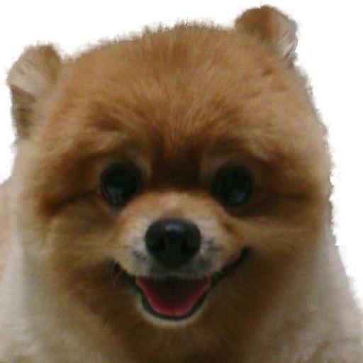 ,もも,ももちゃん,ポメラニアン,ポメ,シバラニアン,天使,犬,わんこ,可愛い,柴犬,柴犬カット,テディベア,テディベアカット,momo,dog,dogs,pomeranian