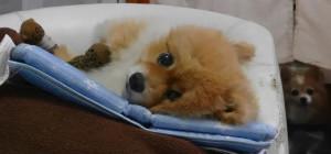 もも,ももちゃん,ポメラニアン,ポメ,犬,わんこ,可愛い,柴犬カット,テディベアカット,柴犬,テディベア,ポメ柴,シバラニアン,天使,momo,dog,dogs,pomeranian,みみ,みみちゃん,チワワ,犬,わんこ,可愛い,ロングコートチワワ,mimi,dog,dogs,chihuahua