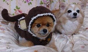 もも,ももちゃん,ポメラニアン,ポメ,犬,わんこ,可愛い,柴犬カット,テディベアカット,柴犬,テディベア,ポメ柴,シバラニアン,天使,momo,dog,dogs,pomeranian,みみ,みみちゃん,チワワ,犬,わんこ,可愛い,ロングコートチワワ,mimi,chihuahua