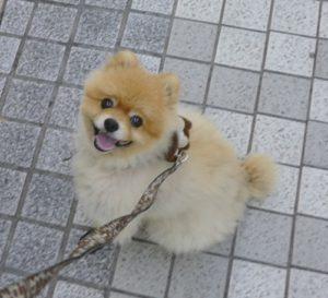 嬉しい,もも,ももちゃん,ポメラニアン,ポメ,犬,わんこ,可愛い,柴犬カット,テディベアカット,柴犬,テディベア,ポメ柴,シバラニアン,天使,momo,dog,dogs,pomeranian