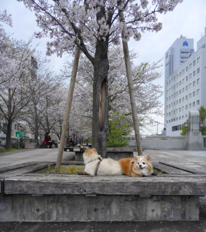 桜,花見,もも,ももちゃん,ポメラニアン,ポメ,犬,わんこ,可愛い,柴犬カット,テディベアカット,柴犬,テディベア,ポメ柴,シバラニアン,天使,momo,dog,dogs,pomeranian