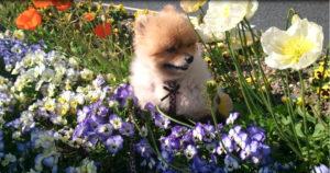 花,もも,ももちゃん,ポメラニアン,ポメ,犬,わんこ,可愛い,柴犬カット,テディベアカット,柴犬,テディベア,ポメ柴,シバラニアン,天使,momo,dog,dogs,pomeranian