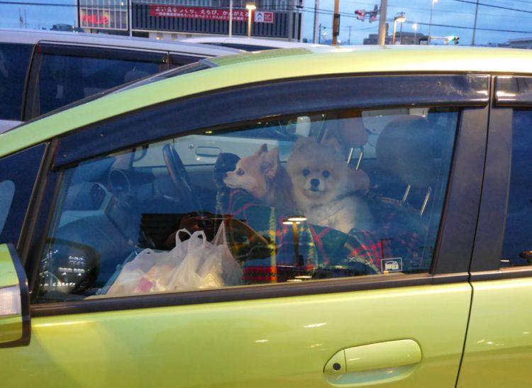 もも,ももちゃん,ポメラニアン,ポメ,犬,わんこ,可愛い,柴犬カット,テディベアカット,柴犬,テディベア,ポメ柴,シバラニアン,天使,あざとい,momo,dog,dogs,pomeranian,みみ,みみちゃん,チワワ,可愛い,ロングコートチワワ,mimi,chihuahua