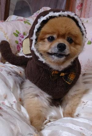 どや顔,猿,コスプレ,もも,ももちゃん,ポメラニアン,ポメ,犬,わんこ,可愛い,柴犬カット,テディベアカット,柴犬,テディベア,ポメ柴,シバラニアン,天使,momo,dog,dogs,pomeranian