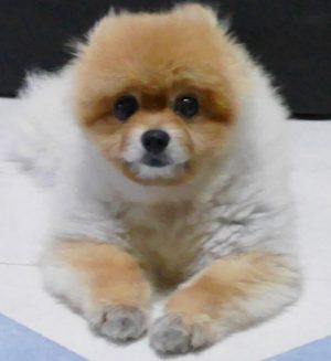 しょぼん,もも,ももちゃん,ポメラニアン,ポメ,犬,わんこ,可愛い,柴犬カット,テディベアカット,柴犬,テディベア,ポメ柴,シバラニアン,天使,あざとい,momo,dog,dogs,pomeranian