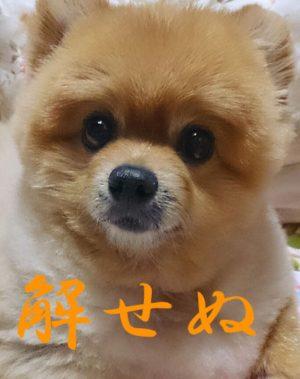 もも,ももちゃん,ポメラニアン,ポメ,犬,わんこ,可愛い,柴犬カット,テディベアカット,柴犬,テディベア,ポメ柴,シバラニアン,天使,momo,dog,dogs,pomeranian