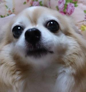 みみ,みみちゃん,チワワ,犬,わんこ,可愛い,ロングコートチワワ,mimi,dog,dogs,chihuahua,顔アップ