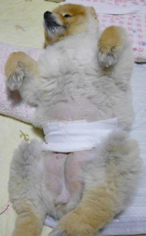 もも,ももちゃん,ポメラニアン,ポメ,犬,わんこ,可愛い,柴犬カット,テディベアカット,柴犬,テディベア,ポメ柴,シバラニアン,天使,あざとい,momo,dog,dogs,pomeranian,手術