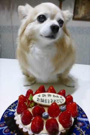 誕生日,みみ,みみちゃん,チワワ,犬,わんこ,可愛い,ロングコートチワワ,mimi,dog,dogs,chihuahua