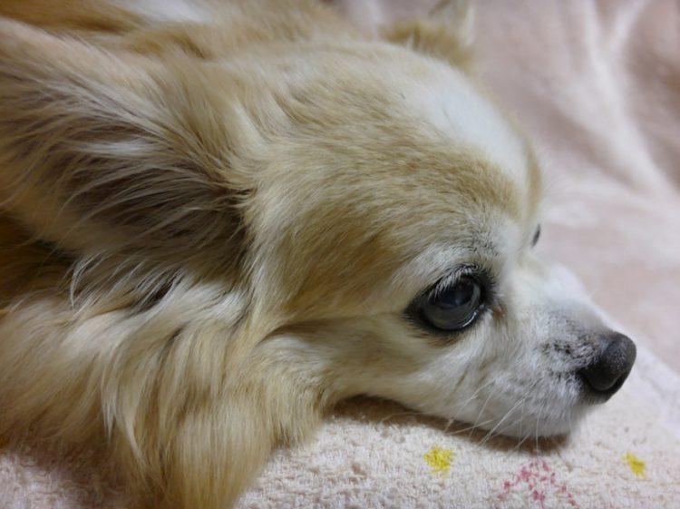 みみ,みみちゃん,チワワ,犬,わんこ,可愛い,ロングコートチワワ,mimi,dog,dogs,chihuahua