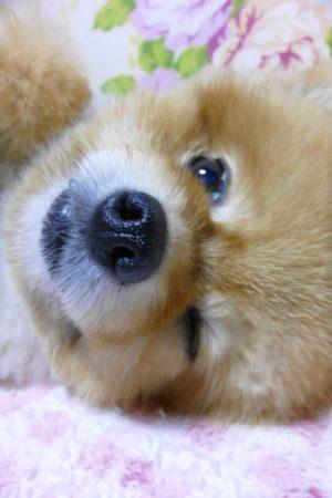 顔アップ,もも,ももちゃん,ポメラニアン,ポメ,犬,わんこ,可愛い,柴犬カット,テディベアカット,柴犬,テディベア,ポメ柴,シバラニアン,天使,あざとい,momo,dog,dogs,pomeranian
