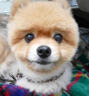 もも,ももちゃん,ポメラニアン,ポメ,犬,わんこ,可愛い,柴犬カット,テディベアカット,柴犬,テディベア,ポメ柴,シバラニアン,天使,あざとい,momo,dog,dogs,pomeranian,顔アップ