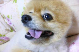 もも,ももちゃん,ポメラニアン,ポメ,犬,わんこ,可愛い,愛らしい,愛くるしい,柴犬カット,テディベアカット,柴犬,テディベア,ポメ柴,シバラニアン,天使,あざとい,momo,dog,dogs,pomeranian