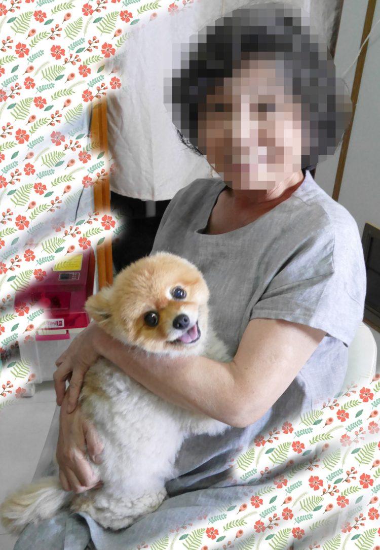 笑顔,もも,ももちゃん,ポメラニアン,ポメ,犬,わんこ,可愛い,愛らしい,愛くるしい,柴犬カット,テディベアカット,柴犬,テディベア,ポメ柴,シバラニアン,天使,あざとい,momo,dog,dogs,pomeranian