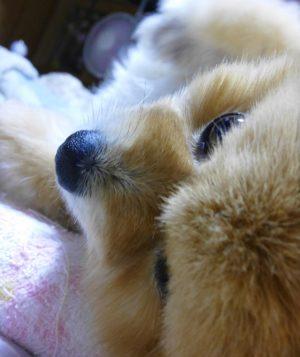 顔アップ,もも,ももちゃん,ポメラニアン,ポメ,犬,わんこ,可愛い,愛らしい,愛くるしい,柴犬カット,テディベアカット,柴犬,テディベア,ポメ柴,シバラニアン,天使,あざとい,momo,dog,dogs,pomeranian