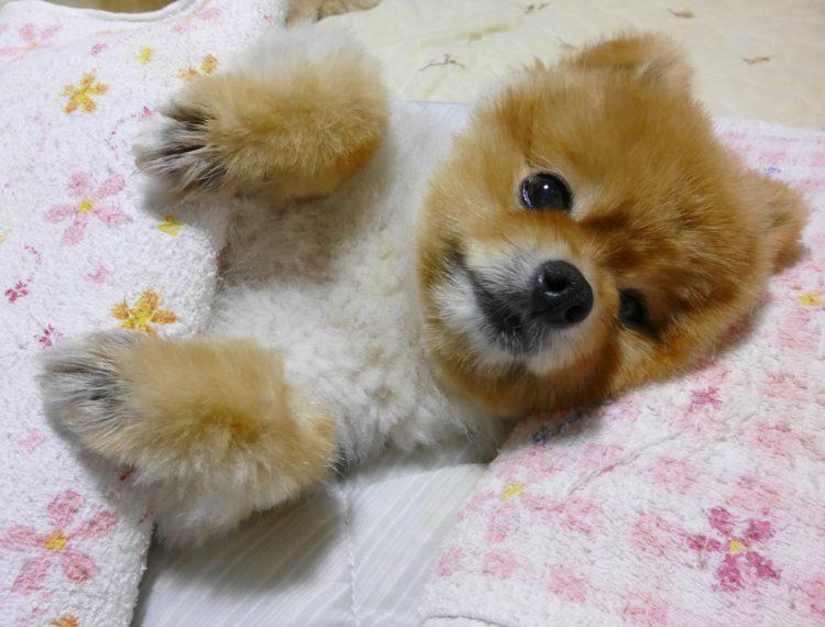 柴犬 カット ポメラニアン